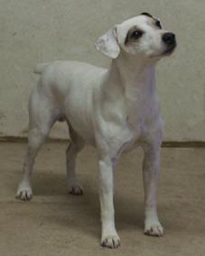 Cher Car Kennels Jack Russell Terrier Mustang