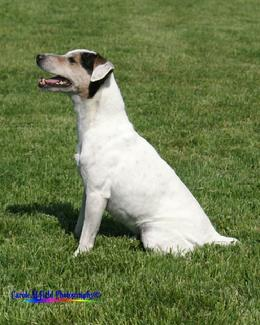 "Jack Russell Terrier GRCH ""Mustang"" at Cher Car Kennels"