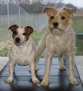 Parson Jack Russell Terriers at Cher Car Kennels