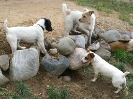 Jack Russell Terriers hunting