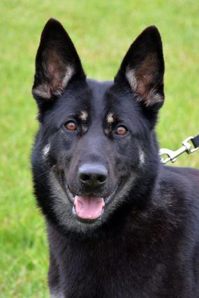 German Shepherd for sale at Cher Car Kennels