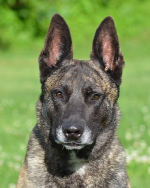 "Dutch Shepherd CH ""Becker"" at Cher Car Kennels in St. Johns, Michigan"