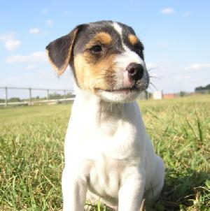 Cher Car Kennels Jack Russell Terrier
