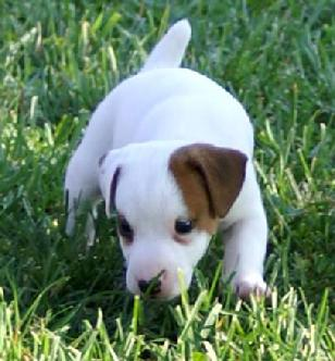 Cher Car Kennels Jack Russell Terrier Puppy