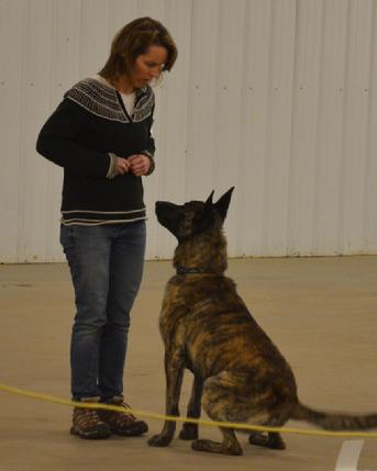 "Dutch Shepherd CH ""Vinnie"" at Cher Car Kennels in St. Johns, Michigan"