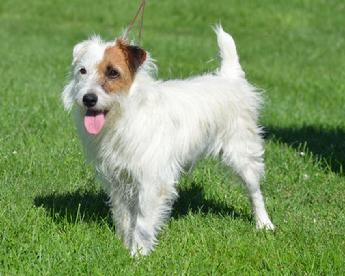 "Parson Jack Russell Terrier ""Laredo"" at Cher Car Kennels"