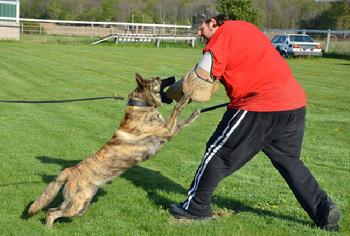 Protection training for the family pet at Cher Car Kennels