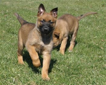 Belgian Malinois puppies at Cher Car Kennels