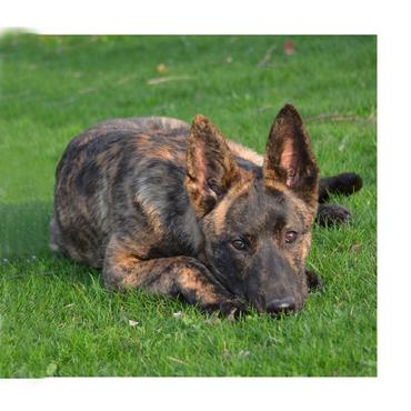 "Dutch Shepherd ""Chanel"" at Cher Car Kennels"