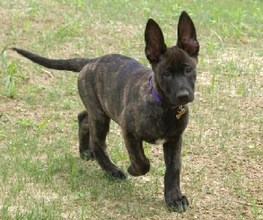 Dutch Shepherd Puppy at Cher Car Kennels
