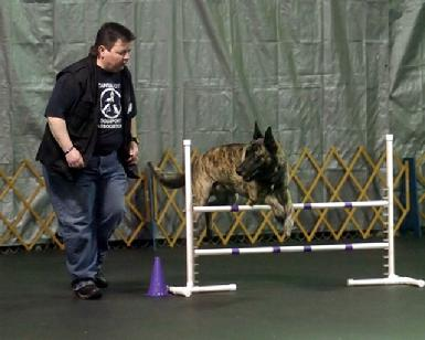 Dutch Shepherd CH Becker at Cher Car Kennels