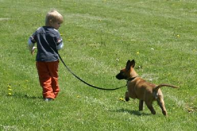 Belgian Malinois puppy at Cher Car Kennel