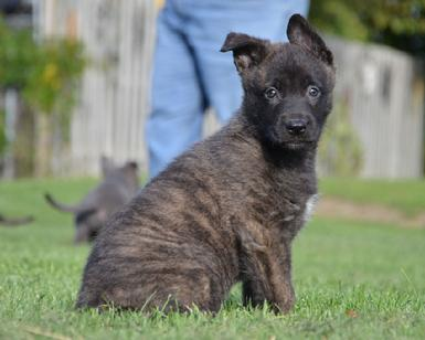 Dutch Shepherd puppies for sale at Cher Car Kennels