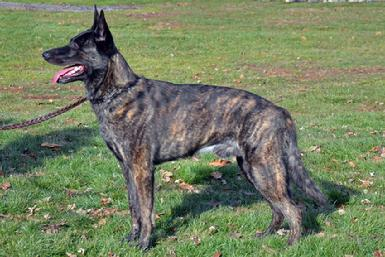"Dutch Shepherd NGRCH ""Colt"" at Cher Car Kennels"