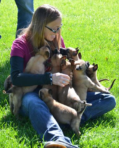 Belgian Shepherd puppies for sale at Cher Car Kennels