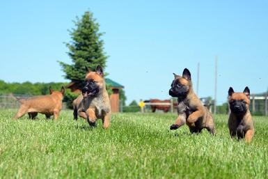 Belgian Malinois puppies from Cher Car Kennels