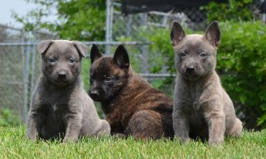 Dutch Sheoherd puppies for sale at Cher Car Kennels