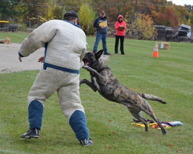 Dutch Shepherd UJJ UAGII URO3 CH Cher Car's It's My Perogative BTr CSAU CGC(Becker) at Cher Car Kennels