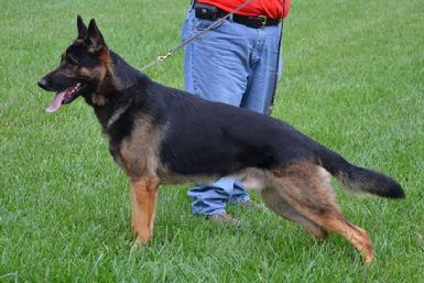 "German Shepherd ""Diesel"" at Cher Car Kennels"