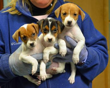 Parson Jack Russell Terrier puppies at Cher Car Kennels