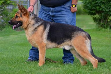 "German Shepherd CH ""Kevlar"" at Cher Car Kennels"