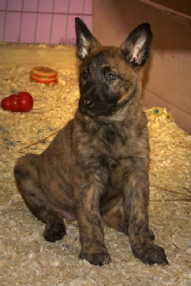 Dutch Shepherds puppies for sale at Cher Car Kennels