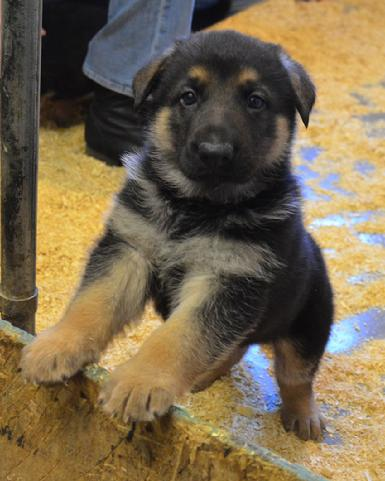 Germans Shepherd puppies for sale at Cher Car Kennels