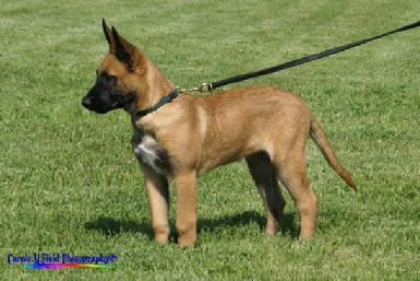 Belgian Malinois puppy at Cher Car Kennels