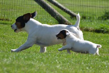 Parson Jack Russel Terrier puppies for sale at Cher Car Kennels