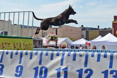 Dutch Shepherd CH Snap earning her Junior Jumper title in UAD Dock Jumping