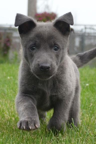 Blue Dutch Shepherd puppy for sale at Cher Car Kennels