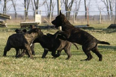 Dutch Shepherd puppies st Cher Car Kennels
