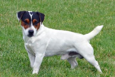 "Parson Jack Russell Terrier ""Spalding"" at Cher Car Kennels"