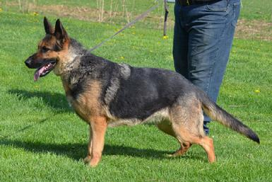 German Shepherds from Cher Car Kennels