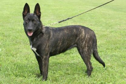 "Dutch Shepherd Champion ""Snap"" at Cher Car Kennels"