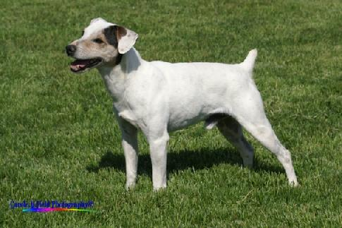 "Parson Russell Terrier GRCH ""Mustang"" at Cher Car Kennels"