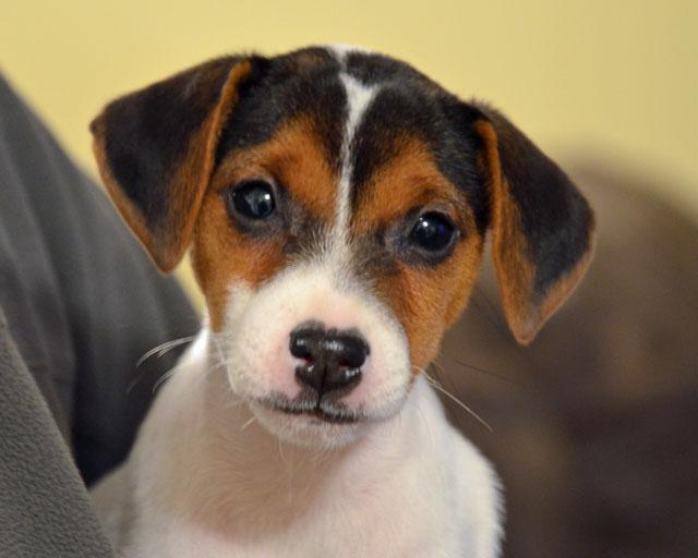 Parson Jack Russell Terrier puppy for sale at Cher Car Kennels