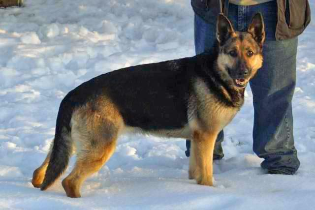 "German Shepherd ""Echo"" at Cher Car Kennels"