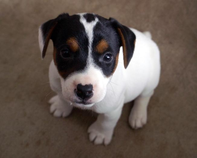 Parson Jack Russell Terrier puppies for sale at Cher Car Kennels