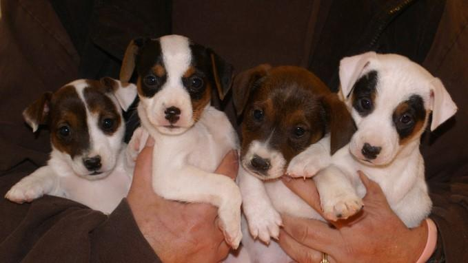 Jack Russell puppies at Cher Car Kennels