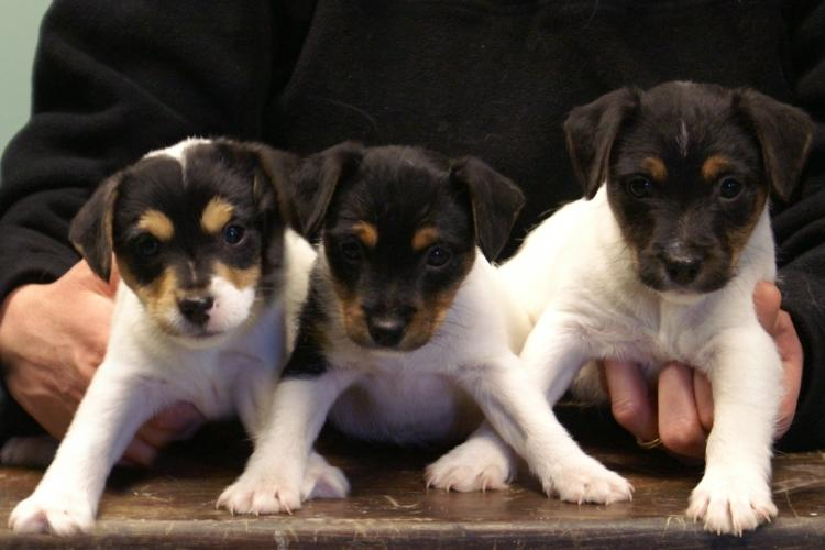Jack Russell Terrier puppies at Cher Car Kennels