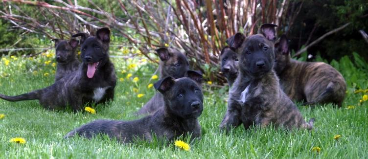 Dutch Shepherd Puppies at Cher Car Kennels
