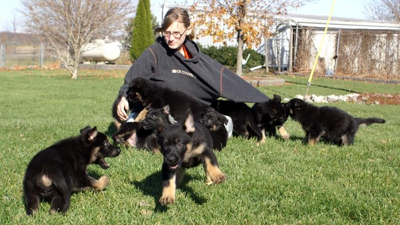 German Shepherd puppies at Cher Car Kennels
