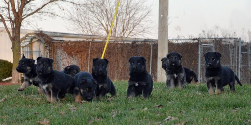 German Shepherd puppies for sale at Cher Car Kennels