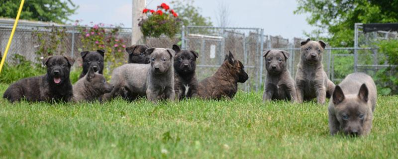 Dutch Shepherd puppies for sale at Cher Car Kenenls