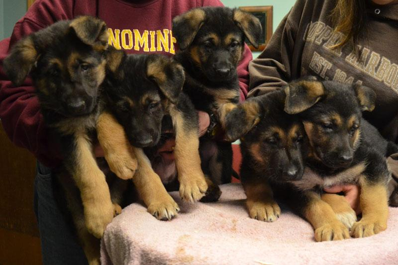 German Shepoherd puppies for sale at Cher Car Kennels