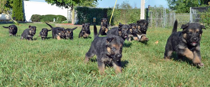 German Shepherd puppies available at Cher Car Kennels