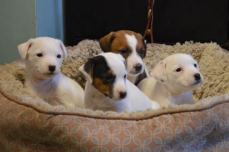 Parson Russell Terriers for sale at Cher Car Kennels
