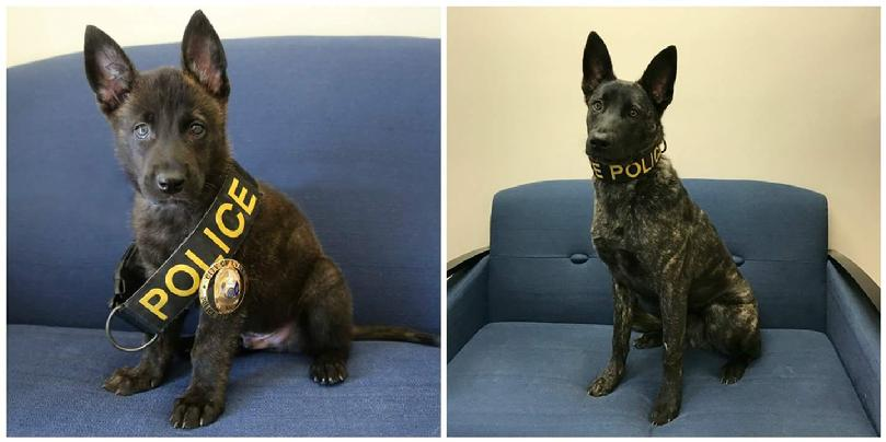 Dutch Shepherd Police Dog from Cher Car Kennels