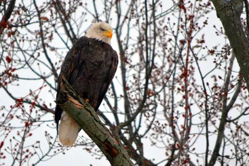 Bald Eagle 2016 ©CaroleField